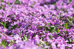 Beautiful violet wildflowers background colors Royalty Free Stock Photos