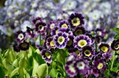 beautiful violet, yellow and purple primula x, pubescens flowers blooming in summer Stock Image