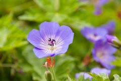 Beautiful violets in a botanical garden stock image