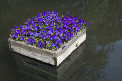 Beautiful violets Royalty Free Stock Images
