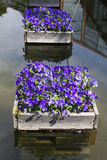 Beautiful violets in  box amongst pond Stock Photography