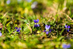 Beautiful violets Royalty Free Stock Image