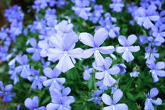 Beautiful violets meadow Royalty Free Stock Photography