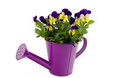 Beautiful violets in pink watering can. Isolated on white stock photo