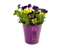 Beautiful violets in pink watering can. Isolated on white royalty free stock photos