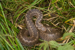 A beautiful viper hiding in a grass in summer meadow. Stock Photo