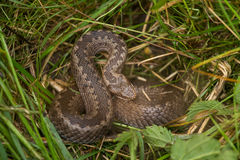 A beautiful viper hiding in a grass in summer meadow. Stock Photography
