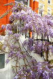 Beautiful visteria blossom outside the house stock photos