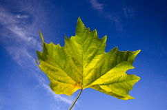 Beautiful vivid autumn maple leaf against blue sky Royalty Free Stock Photography