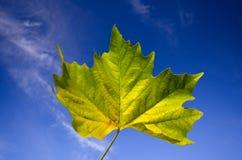 Beautiful vivid autumn maple leaf against blue sky. Beautiful vivid autumn floating maple leaf detail against sunny blue sky royalty free stock photography