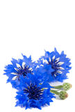 Beautiful vivid blue flowers of cornflower. Royalty Free Stock Images