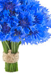 Beautiful vivid blue flowers of cornflower. Stock Photos