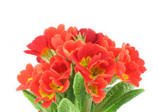 Beautiful vivid flowers on white background Royalty Free Stock Photography