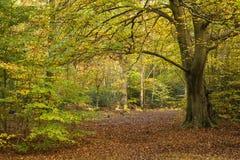 Beautiful vivid golden Autumn Fall forest landscape Royalty Free Stock Photos