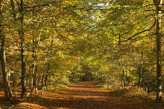 Beautiful vivid golden Autumn Fall forest landscape Stock Photography