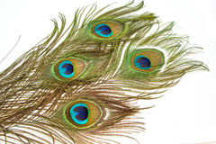 Beautiful vivid peacock feathers Royalty Free Stock Image