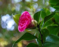 Beautiful vivid pink camellia flower blossom in early stage of blooming royalty free stock photography