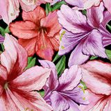 Beautiful vivid purple and red amaryllis flowers on black background. Seamless spring pattern. Watercolor painting. Hand painted floral illustration. Fabric royalty free illustration