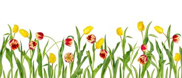 Beautiful vivid red and yellow tulips on long stems with green leaves arranged in seamless row. Isolated on white background. Bright spring flowers. Can be vector illustration