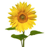 Beautiful vivid sunflower. Isolated on white Royalty Free Stock Photos