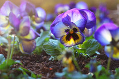 Beautiful and vivid violet Stock Images
