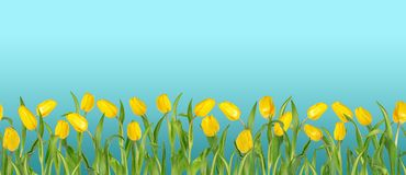 Beautiful vivid yellow tulips on long stems with green leaves arranged in seamless row. Blue sky background. Bright spring flowers. Can be used as a banner or vector illustration