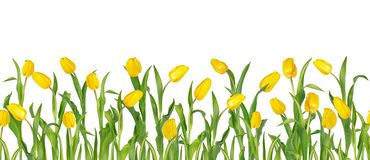 Beautiful vivid yellow tulips on long stems with green leaves arranged in seamless row. Isolated on white background. Bright. Spring flowers. Can be used as a royalty free illustration