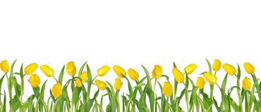 Beautiful vivid yellow tulips on long stems with green leaves arranged in seamless row. Isolated on white background. Bright spring floral mockup. Can be used royalty free illustration