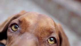 Beautiful Vizsla Dog Stock Image