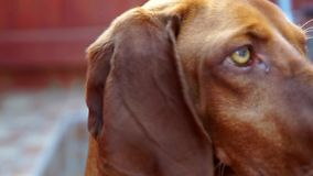 Beautiful Vizsla Dog Royalty Free Stock Images