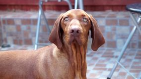 Beautiful Vizsla Dog Stock Images