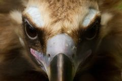 Beautiful Vulture Stock Photo