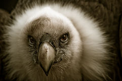 Beautiful vulture. Beautiful picture of a vulture looking at the camera stock photography