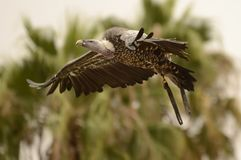 Beautiful Vulture Flying. Vultures are raptors that usually feed on dead animals.  They wide open their wings for flying stock image