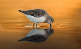 Beautiful wader bird drinking on the water. With a beautiful orange color Stock Photography