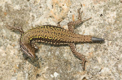 A beautiful Wall Lizard Podarcis muralis sunning itself on a stone wall. A Wall Lizard Podarcis muralis sunning itself on a stone wall royalty free stock image