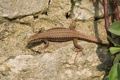 A beautiful Wall Lizard Podarcis muralis sunning itself on a stone wall. Stock Images