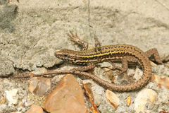 A beautiful Wall Lizard Podarcis muralis warming up on a stone wall. royalty free stock photo