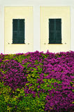 Beautiful wall overgrown bougainvillea with window shutters stock images