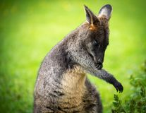 Beautiful wallaby Stock Photo