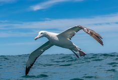 A Beautiful Wandering Albatross Soars Close to the Ocean Surface royalty free stock photo