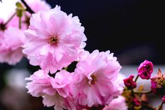 Beautiful warm evening cherry blossoms bloom. In April each year, beautiful cherry blossoms later, she is so beautiful, open is very beautiful, attracted stock photo