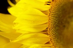 Beautiful warm pollen yellow flowers of an unripe sunflower close-up, top view, summer, background for a postcard. macro photo.  stock photo