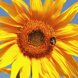 Beautiful warm sunflower with bumblebees Royalty Free Stock Images