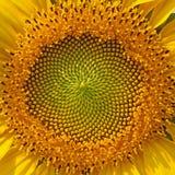 Beautiful warm sunflower close. Stock Photo