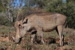 Beautiful Warthog Stock Images