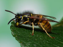 Beautiful Wasp Stock Photos