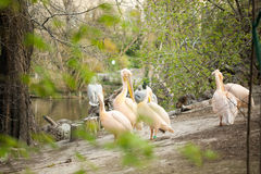Beautiful water bird Pink-backed Pelican Royalty Free Stock Photography