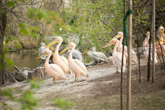 Beautiful water bird Pink-backed Pelican Royalty Free Stock Photos