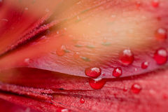 Beautiful water drop on red petals Stock Photos